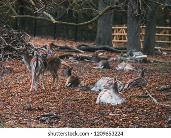 Group of young female fallow deer relaxing, with autumn leaves on the floor