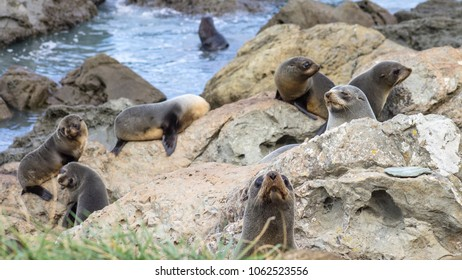 A group of young Fur Seals (Arctocephalus forsteri) in Kaikoura on the Southern East Coast of New Zealand gathered along the main state Highway.