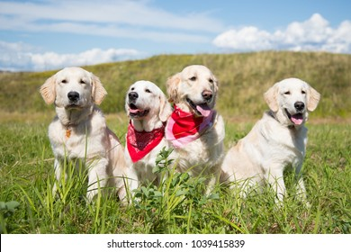 Group of young golden retriever dogs posing in the field in sunny day in summer. Two golden retriever girls in bandanas and two male dogs on the sky and grass background