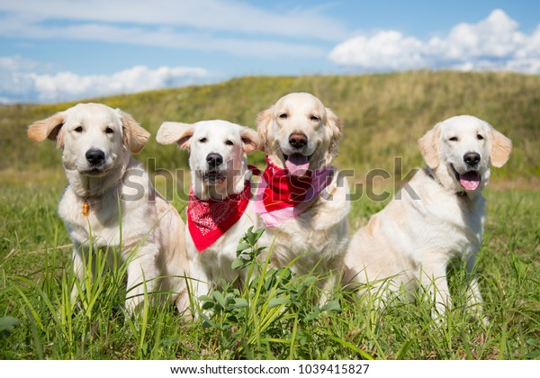 Group of young golden retriever dogs posing in the field in sunny day in summer. Three golden puppy and their mom on the sky and grass background