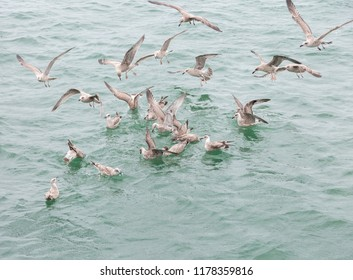 Group of young gulls fighting over food scraps