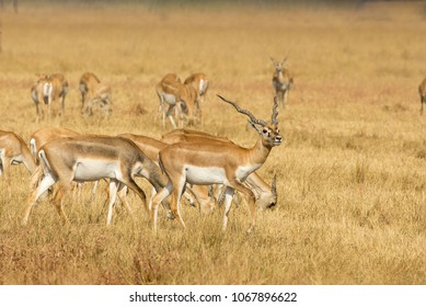 A group of young male and female Blackbuck against a blurred dry grassland setting, Gujarat, India