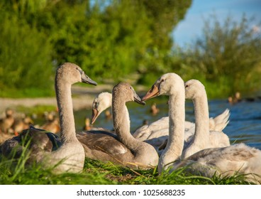 Group of young mute swans  at a lake in Germany  during a summer evening