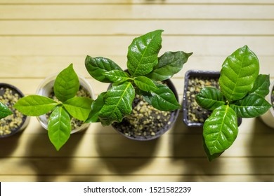 Group of young plant arabica coffee tree in greenery, hothouse, orangery. Ecological healthy farming and agricultural concept.