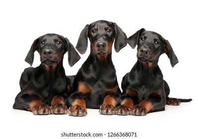 A group of young puppies Doberman Pinscher lie on a white background