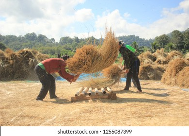 group of young Tai Yai / Burmese men threshing newly harvested rice stalks by hand beating the stalks onto a bamboo threshing floor on a small local farm. Mae Hong Son, Thailand 21/11/18