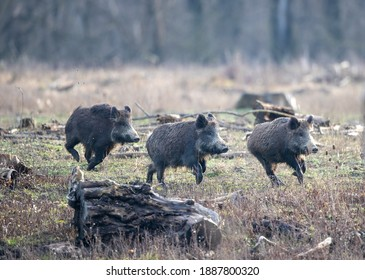 Group of young wild boars (sus scrofa ferus) running on meadow in forest in winter time. Wildlife in natural habitat