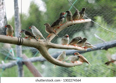 A group of zebra finch (Taeniopygia guttata) posed on a branch inside an aviary