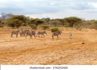 Group of zebra walking around in Kenya