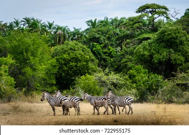 Group of zebras against green landscape of Akagera National Park, Rwanda