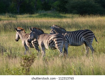 A Group of Zebras in the evening light, Botswana