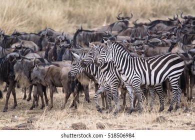group of zebras in front of large herd of white bearded wildebeests (Connochaetes tuarinus mearnsi) ,Maasai Mara National Reserve, Kenya