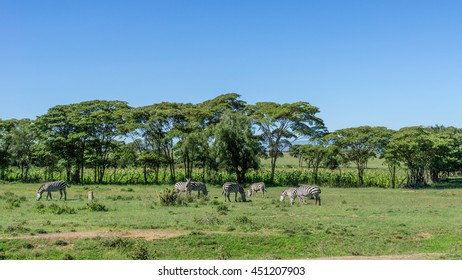 A group of Zebras  grazing freely along the road to Naivasha, Kenya