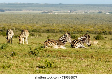 Group of Zebras lying, while the other is standing and eating grass in the field.