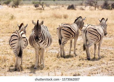 A group of zebras standing in the dry grassland, Etosha, Namibia, Africa
