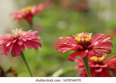 Group of zinnia flower for background