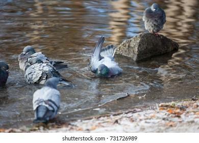 Groupd of pigeons birds bathing