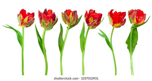 Groupe of beautiful red tulips parrot isolated on white background