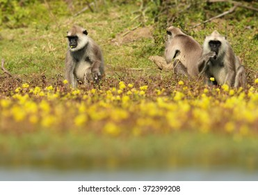 Groupe of grey monkey Hanuman Langurs Semnopithecus entellus, sitting on lakeside and feeding on yellow flowers. Blurred yellow flowers in foreground. Sri Lanka forest.