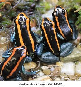 groupe of Poison Frogs, Phyllobates vittatus,