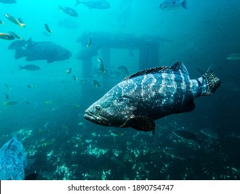 Grouper fish in aquariums Rayong Thailand