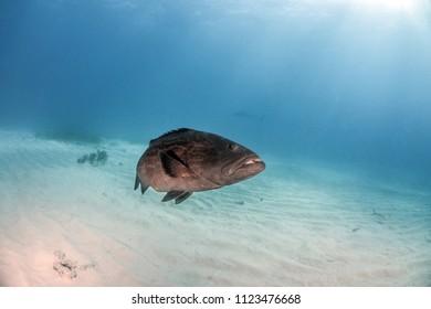 Grouper Fish at the Bahamas
