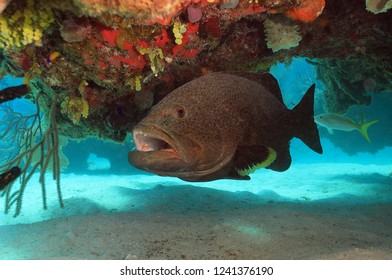 Grouper fish hiding under coral
