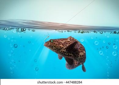 grouper fish hooks feeling under the sea/Arabian grouper, Greasy grouper/Epinephelus tauvina/Serranidae /grouper fish isolated on black background/fish market popular