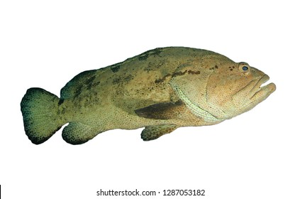 Grouper fish isolated on white