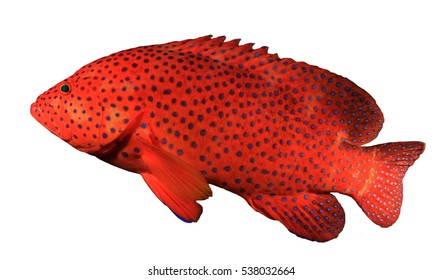 Grouper fish isolated on white background. Coral Grouper or Hind fish