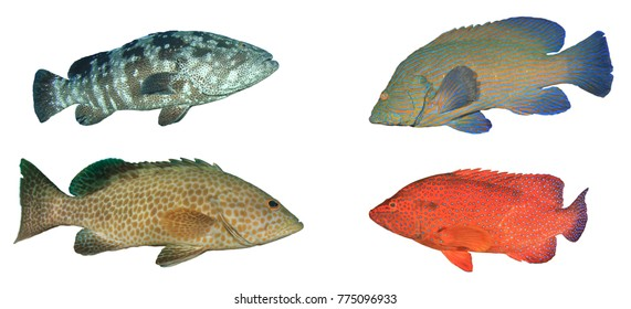 Grouper fish isolated on white background. Marbled, Aerolate, Peacock and Coral Groupers