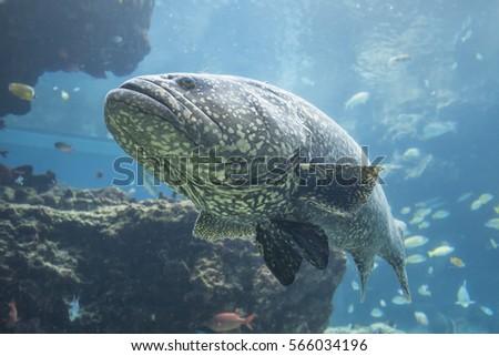 Grouper Fish Okinawa Churaumi Aquarium Okinawa Stock Photo Edit Now