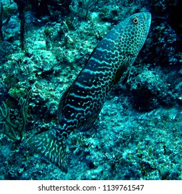 Grouper fish swimming in Nassau Bahamas