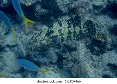 Grouper on the Great Barrier Reef (Hastings / Saxon Reef)