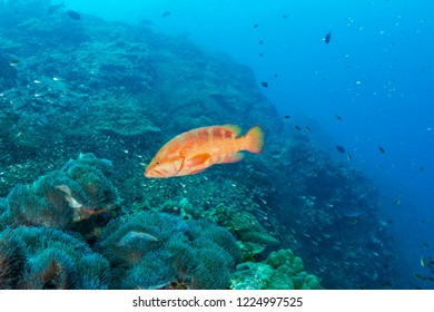 Grouper on a tropical coral reef