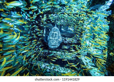 Grouper with a  shoal of Yellowtail snapper