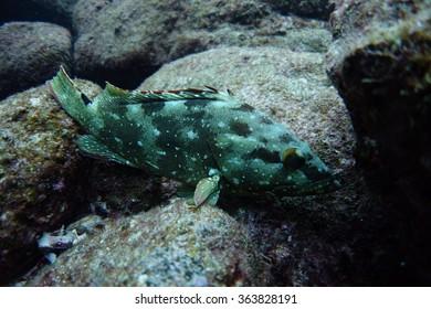 Grouper underwater