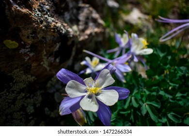 A grouping of Colorado Columbines in a rocky outcropping 13,000 feet up in the San Isabel National Forest.