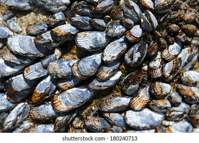 Grouping of multiple blue grey mussel shells on the beach with soft focus.