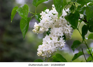 Grouping of white lilac blossoms in sp;ring time rain.