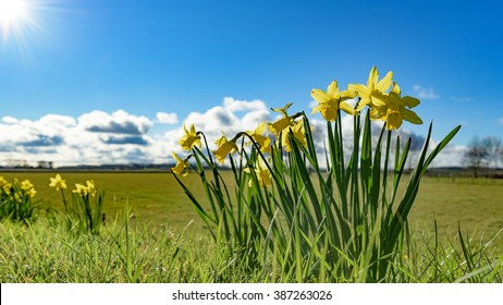 Groups of daffodils bloom in the light of the spring sun, on top of a Dutch dyke overlooking the polder landscape below.