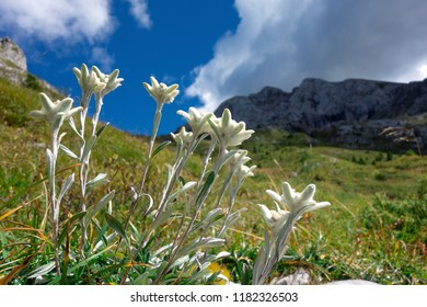 Groups of Edelweiss mountain flowers in the limestone mountains.