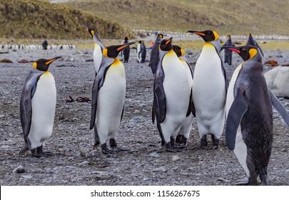 Groups of flocks of king penguins litter beaches of South Georgi