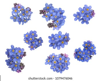 Groups of forget me not flowers, isolated on white background.