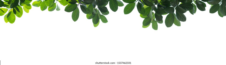 Groups of fresh green leaves arranged on a white background build a natural frame in panorama format.