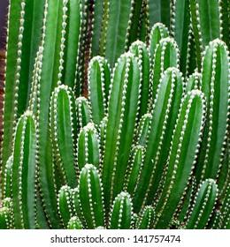 Groups of green cactus Cereus sp. or Fairy Castle cactus budding.