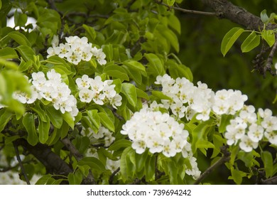 groups of pear flowers on the branches, in spring