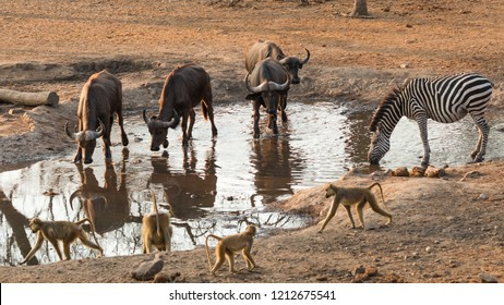 Groups of water buffalo, yellow baboons and a zebra sharing a waterhole in Majete Wildlife Reserve in Malawi.