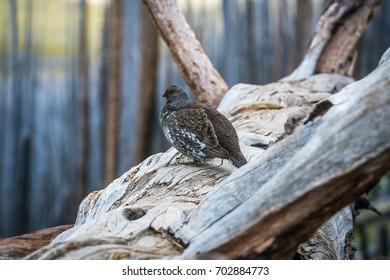 Grouse on a Log
