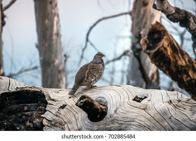 Grouse on a Tree Trunk
